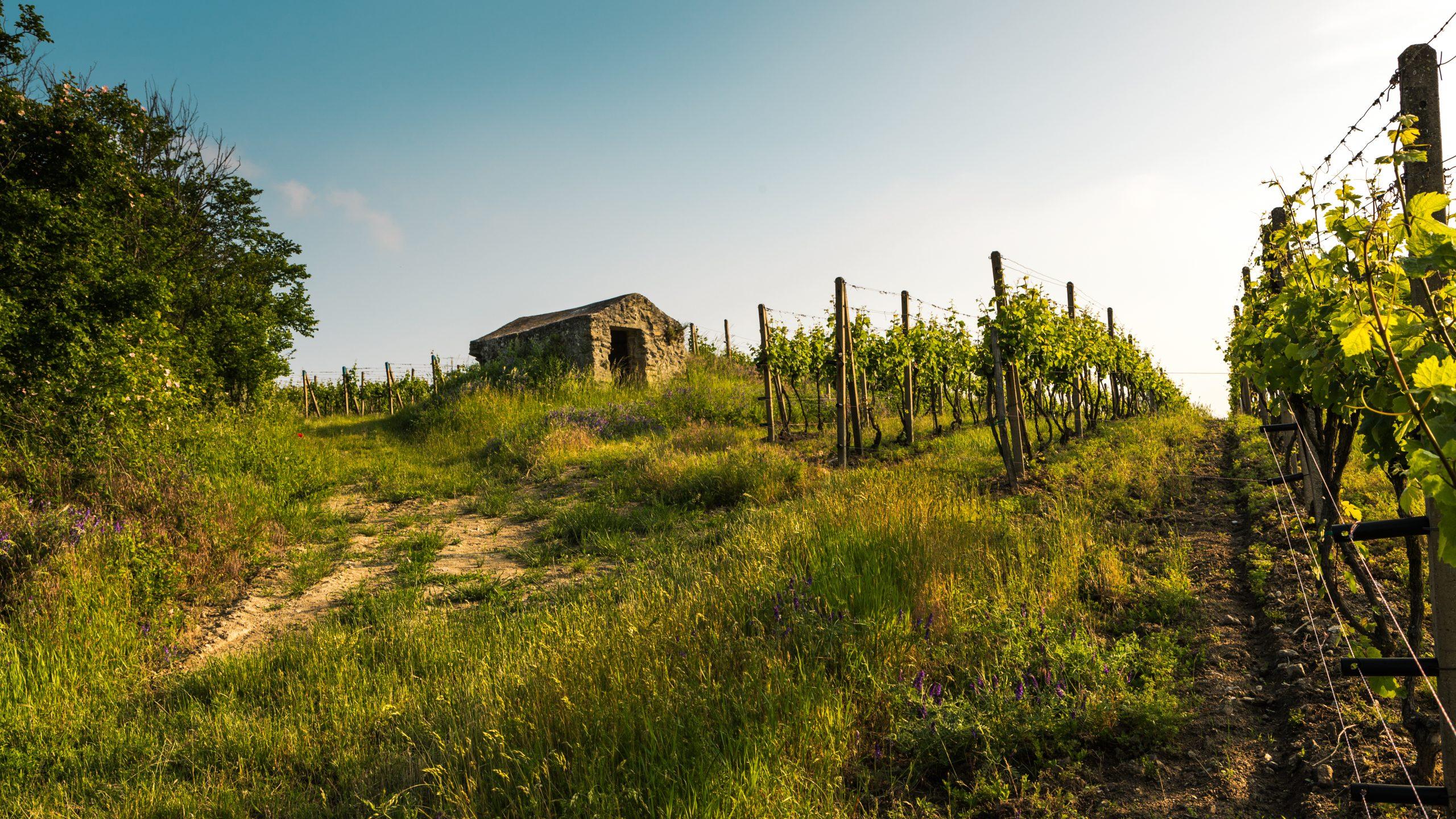 Vinohrady Dubovský & Grančič, Svätý Jur